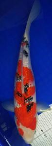 099-Aweng-kaltara-kukc-kaltara-ginrin A-34cm