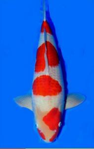393-Hendri pailan - bontang - primadona koi center - bontang - kohaku - 52 cm