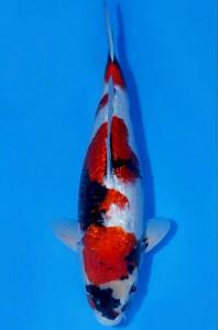 392-Hendri pailan - bontang - primadona koi center - bontang - showa gindrin - 55 cm