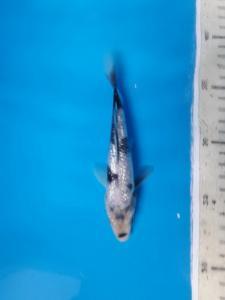 009-Aweng-kaltara-kukc-kaltara-ginrin B-15cm