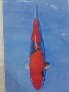 341-Aweng-kaltara-kukc-kaltara-gosiki-38cm