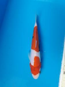 107-Aweng-kaltara-kukc-kaltara-kawarimono-19cm