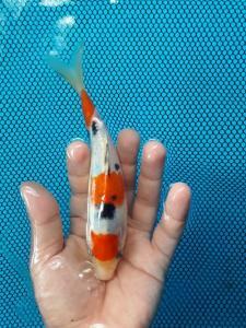 025-Aweng-kaltara-kukc-kaltara-sanke-15cm1