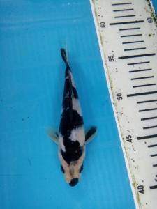 311-ii aquarium-balikpapan-kkc-kediri-siro utsuri-15